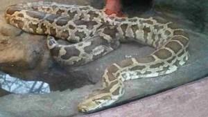 Burmese python. (Beth Clifton photo)