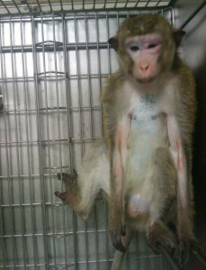 (From PETA video of SNBL monkey use.)