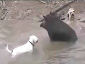 Hog/dog rodeo. (Facebook image)