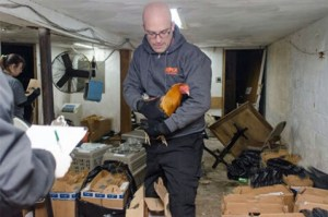 ASPCA president Matt Bershadker,  then director of law enforcement,  participating in a raid on illegal cockfighting in New York City.