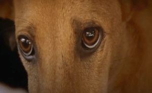 (From Asia Canine Protection Alliance video)