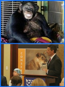 The chimp who mauled Charla Nash, above; Nash & Wayne Pacelle testifying for the Captive Primate Safety Act, below.