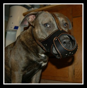A muzzled pit bull. (Flickr photo)