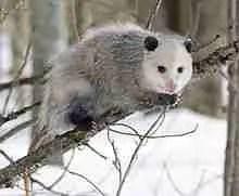 Opossum. (Wikipedia photo)