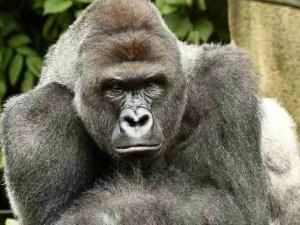 Harambe. (Jeff McCurry/Cincinnati Zoo & Botanical Gardens photo)