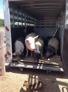 Rescued pigs at Alasta Home Sanctuary.