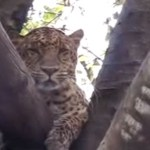 Leopards and lions of India learn to live among people