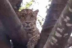 Indian leopard.  (Big Cat Rescue photo)