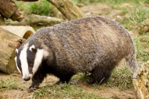 European badger.  (ArkWildlife photo)