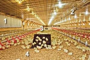 Bell & Evans version of how it raises chicks.