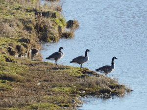 Canada geese at Dugwala Bay. (Beth Clifton photo)