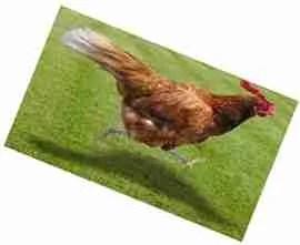 Chicken running downhill