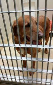 Labs can almost always find a home. Pit bulls, even without the safety issues associated with them, would still be coming to shelters in numbers about three times greater than adoption demand. (Beth Clifton photo)