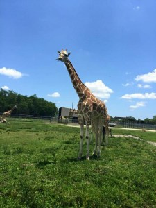 Giraffes are among the species whose zoo populations are controlled by PZP through Jay Kirkpatrick's research. (Trish Conner photo)