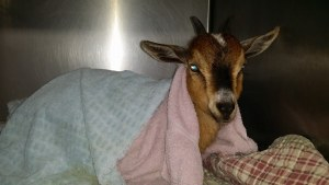 recovering goat