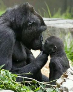 Mother & baby gorilla. (San Francisco Zoo photo)