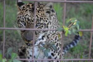 Leopard at Big Cat Rescue. (Beth Clifton photo)