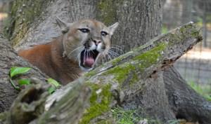 Puma at Big Cat Rescue (Beth Clifton photo)