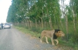 Mohawk running alongside Nairobi National Park perimeter fence. (Believed to be bystander cell phone photo.)