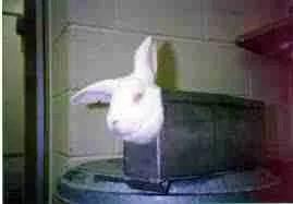 Lab rabbit. (PETA photo)