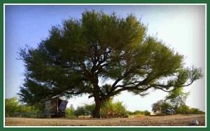 Khejri tree. (Flickr photo)