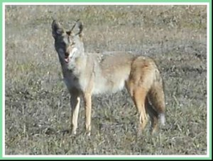 Coyote. (Dennis Baker photo)