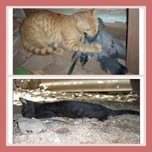 Secondary poisoning illustrated: these cats ate poisoned birds. (Poochu/India)