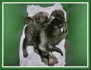 Newborn grizzlies. (WSU Bear Center photo)