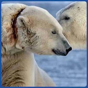 Andy the polar bear. (Susan Adie photo)