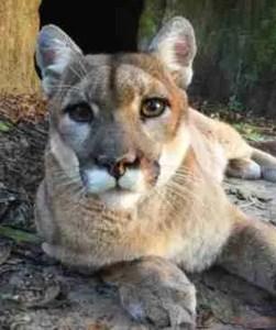 Puma (Big Cat Rescue photo)