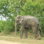 Raju the Independence Day elephant