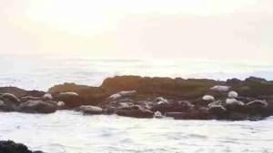 Sea lions at twilight on the Oregon coast.  (Beth Clifton photo)