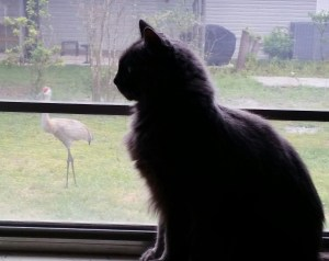 Sebastian stalks a sandhill crane. (Beth Clifton photo)