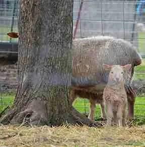 Sheep hides. (Beth Clifton photo)
