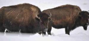 """""""Snow Mamas."""" (Stephany Seay/Buffalo Field Campaign)"""