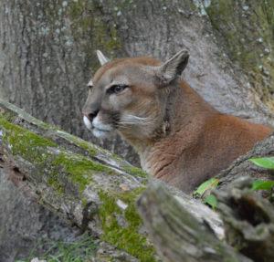 Puma at Big Cat Rescue. (Beth Clifton photo)