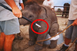 Elephant hook,  also known as bullhook,  in use.  (PETA photo)