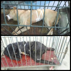 Some of the dogs who were rescued from the X'ian Medical University lab. (Facebook photo)