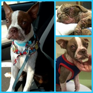 Libre, clockwise from top right at rescue, in rehab, and recently. (Sabrina McClair photos.)