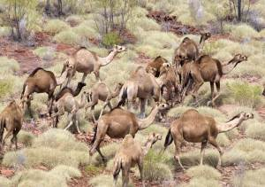 Feral camels. (Land & Resources Management photo)
