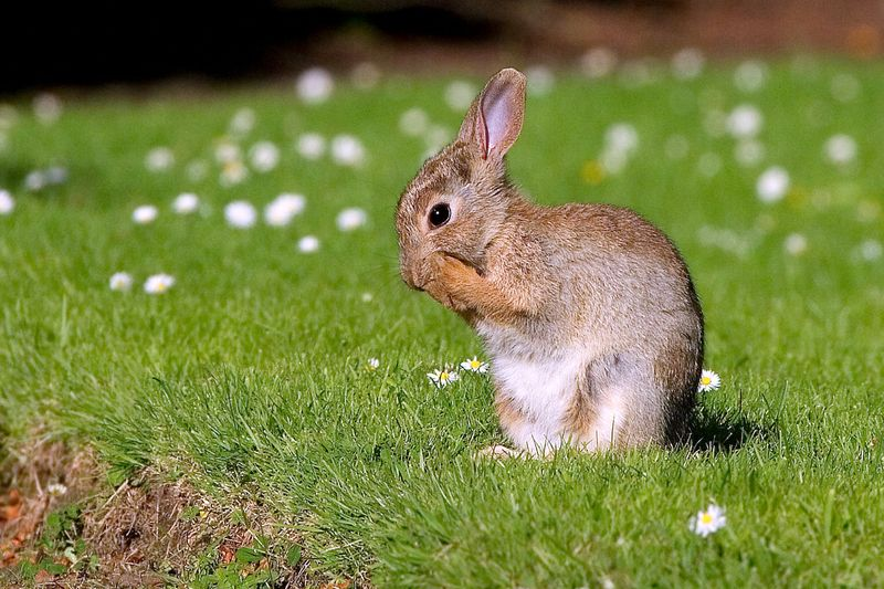 European Rabbit - Facts, Habitat, Distribution, Pictures, Adaptation