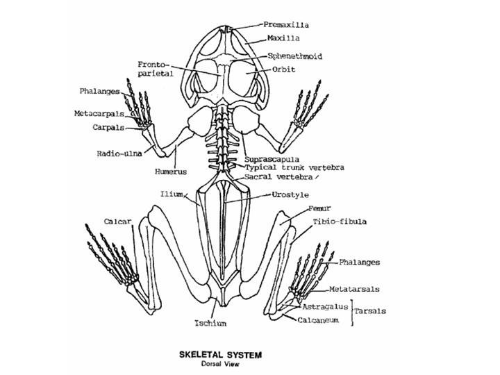 shark skeletal system diagram