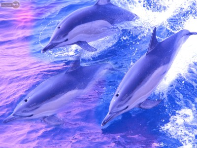 Dolphin Wallpapers – Animal Spot
