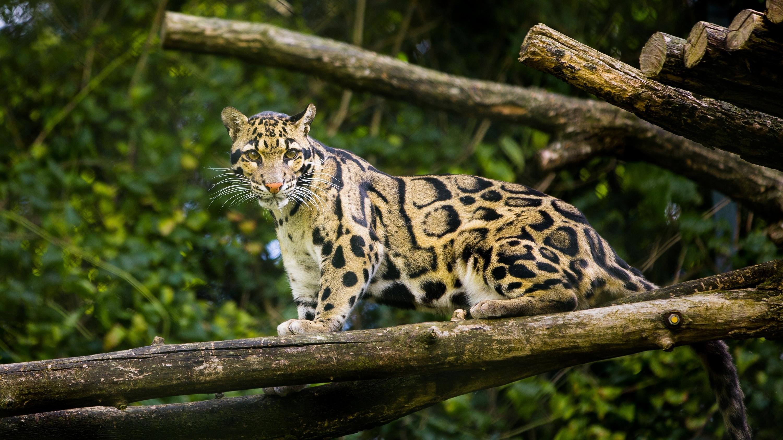 Pantera Animal Wallpaper Clouded Leopard Information Facts Habitat Adaptations