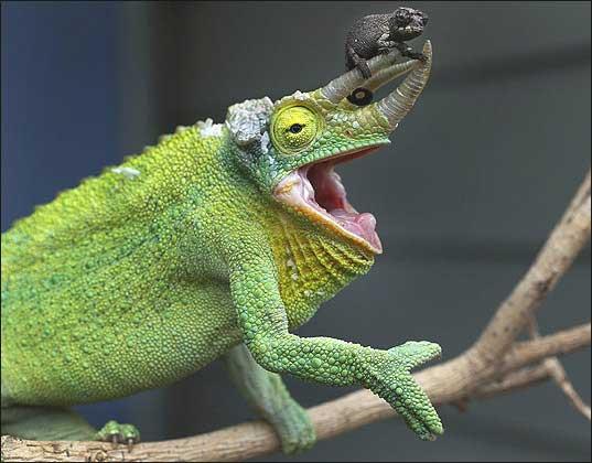 Jackson39s Chameleon Facts Habitat Diet Life Cycle Baby