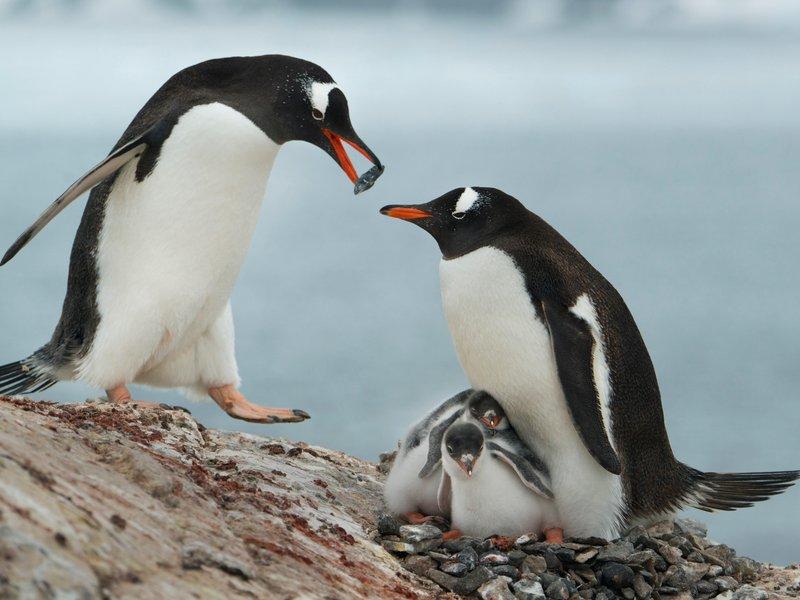 Harsh 3d Name Wallpaper Gentoo Penguin Facts Habitat Predators Lifespan Pictures