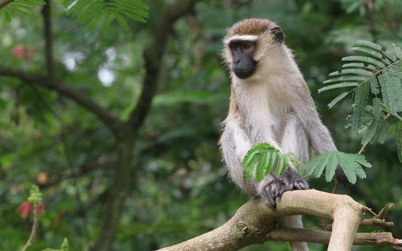 Black And White Animal Wallpaper Vervet Monkey Facts Distribution Diet Vocalizations