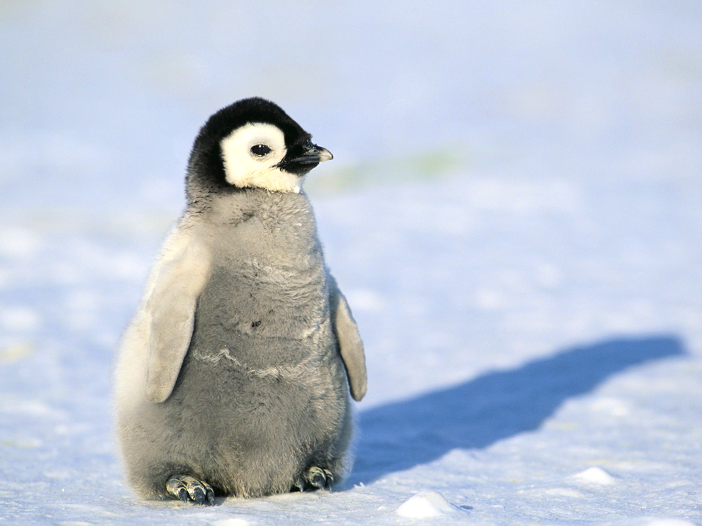Cute Little Puppies Wallpapers Penguin Facts Types Habitat Diet Adaptations Pictures