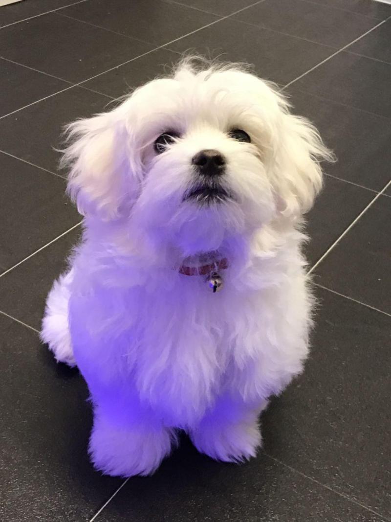 Excellent Ga Maltese Maltese Puppy Needs A Loving Maltese Puppy