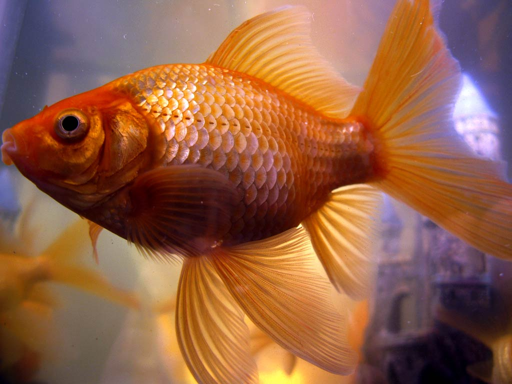 Www Wallpaper Com Free Download Hd Goldfish Wallpapers Animals Town